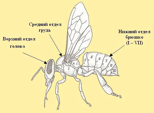 Внешнее строение тела рабочей пчелы BEEMODEL.NAROD.RU