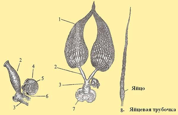 Рис. 10. Половые органы плодной матки имеют. BEEMODEL.NAROD.RU