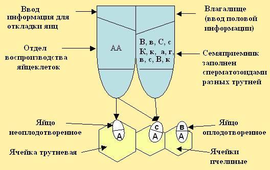 и схема откладки яиц в ячейки