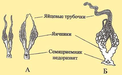 Рис. 13. Половые органы рабочей пчелы. BEEMODEL.NAROD.RU