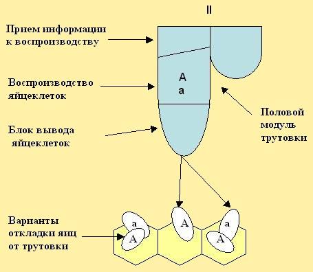 Рис. 14. Модули нижнего отдела рабочих пчёл. BEEMODEL.NAROD.RU