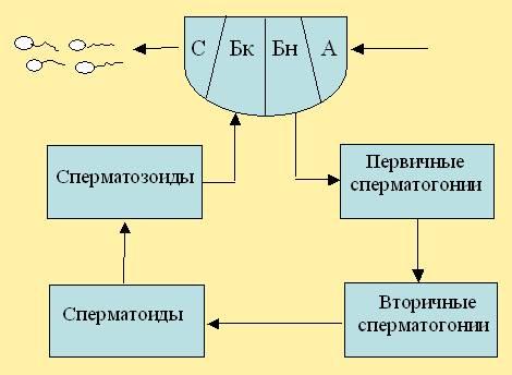 Рис. 16.  Модуль половой информации (нижнего отдела) трутня. BEEMODEL.NAROD.RU