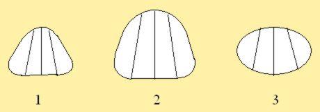 Рис. 6. Модули верхнего отдела особей пчёл - BEEMODEL.NAROD.RU