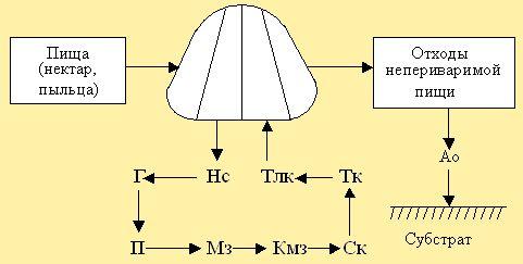 Рис. 7. Схема прохождения пищи в пищеварительной системе - BEEMODEL.NAROD.RU