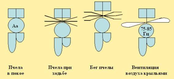 Модели особей пчёл в различных половых и физиологических отличиях BEEMODEL.NAROD.RU