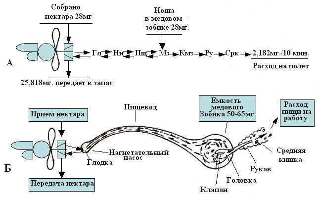 и схема процесса пищеварения