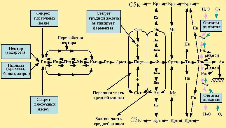 Модель пищеварительной системы пчелы -PASEKA-RU.NAROD.RU