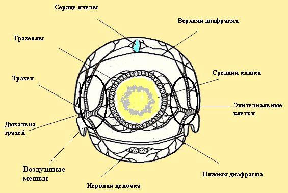 Средняя кишка пчелы: трахеи, трахеолы, сердце, диафрагма, эпителиальные, дыхальца, нервная цепочка, воздушные мешки