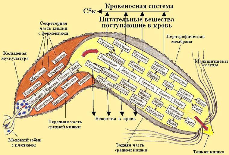 Схема пищеварительного процесса в средней кишке пчелы