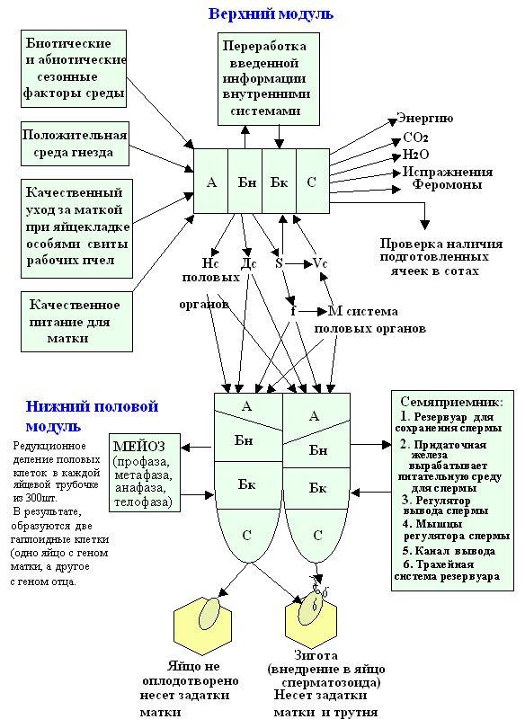 BEEMODEL.NAROD.RU Построение важных информационных связей  между верхним и нижним модулями модели пчелиной матки