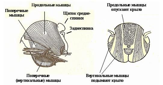 Мышцы груди пчелы, как механизмы генерации звуков