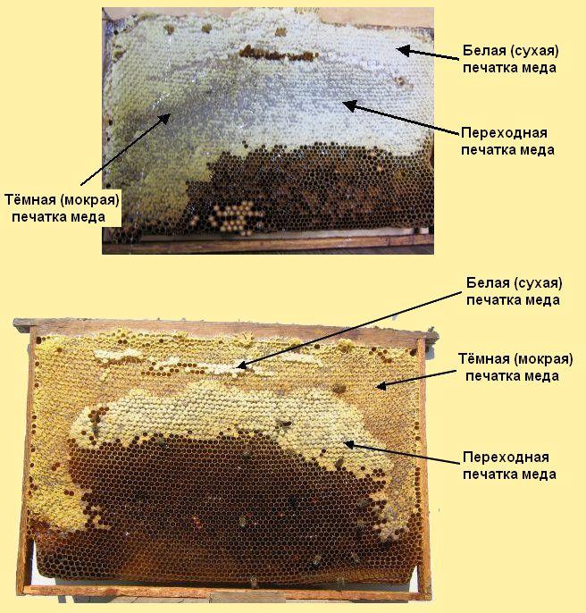 BEEMODEL.NAROD.RU Четкое распределение участков заготовленных кормов  на сотах гнезда
