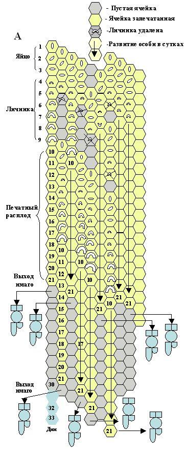 Модель сот с наличием пестрого расплода