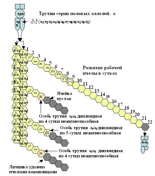 Удаление нежизнеспособных диплоидных  трутней