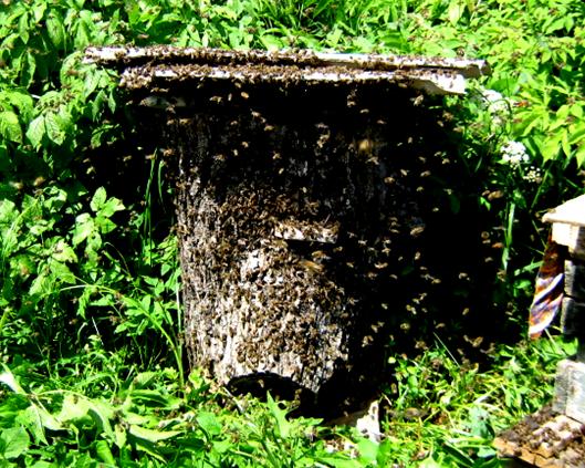 BEEMODEL.NAROD.RU Пчелы роя перед заселением нового жилища